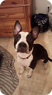 American Pit Bull Terrier Mix Dog for adoption in loxahatchee, Florida - Roxie