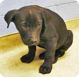 Retriever (Unknown Type)/Pit Bull Terrier Mix Puppy for adoption in Spokane, Washington - Whilock
