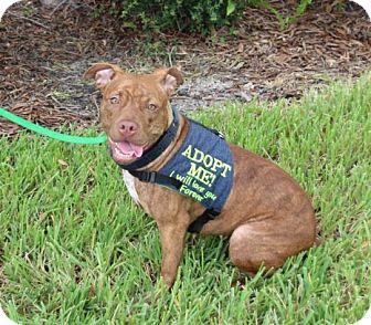 Basenji/American Bulldog Mix Dog for adoption in Ft. Myers, Florida - Bug a/k/a Rhea