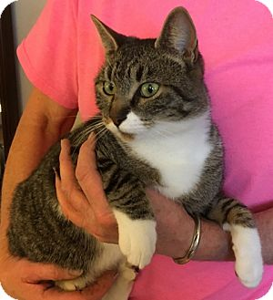 Domestic Shorthair Cat for adoption in Weiser, Idaho - Patti