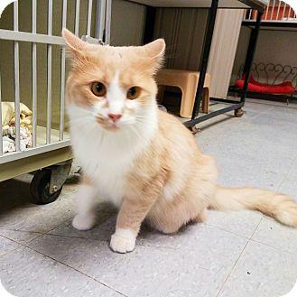 Domestic Shorthair Cat for adoption in Indianola, Iowa - Junior