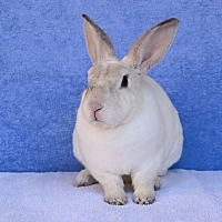 Adopt A Pet :: Klondike - Fountain Valley, CA