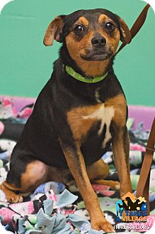 Terrier (Unknown Type, Small) Mix Dog for adoption in Evansville, Indiana - Dobbs