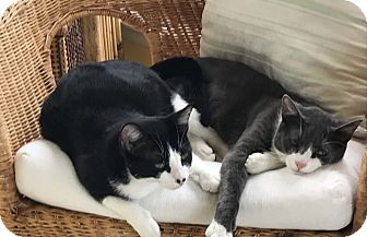 Domestic Shorthair Kitten for adoption in Bear, Delaware - Toni and Tanya