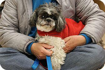 Shih Tzu Mix Dog for adoption in Rochester, Minnesota - Tubbie