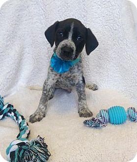 Australian Cattle Dog Mix Puppy for adoption in Newark, Delaware - Tony