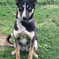 Shepherd (Unknown Type)/Australian Cattle Dog Mix Dog for adoption in Paris, Ohio - Tippey