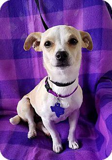 Chihuahua Mix Dog for adoption in San Antonio, Texas - Music