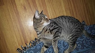 Domestic Shorthair Cat for adoption in Smithfield, North Carolina - Noble SPECIAL ADOPTION FEE