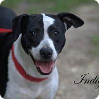 Adopt A Pet :: Indigo - Middleburg, FL