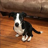 Adopt A Pet :: Joey - Astoria, NY