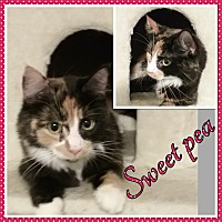 Adopt A Pet :: Sweet Pea - Cedar Springs, MI