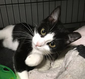 Domestic Shorthair Cat for adoption in Lombard, Illinois - Wendy