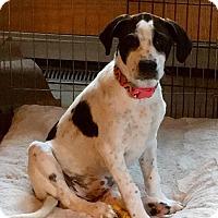 Adopt A Pet :: Avis - bridgeport, CT