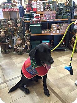 Labrador Retriever Dog for adoption in Denton, Texas - Henry