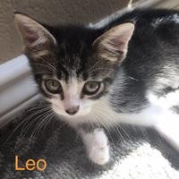 Adopt A Pet :: Leo - Garland, TX