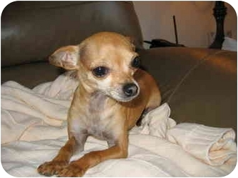 Chihuahua Dog for adoption in Northville, Michigan - Missy