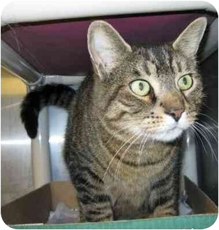 Domestic Shorthair Cat for adoption in North Kingstown, Rhode Island - Coby
