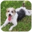 Photo 2 - Jack Russell Terrier Dog for adoption in Phoenix, Arizona - REMINGTON STEELE
