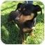 Photo 2 - Dachshund Dog for adoption in Sugar Land, Texas - Socks