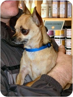 Chihuahua Dog for adoption in House Springs, Missouri - Omar
