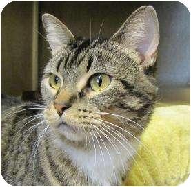 Domestic Shorthair Cat for adoption in Oklahoma City, Oklahoma - Madigan