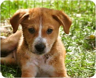 Collie/Labrador Retriever Mix Puppy for adoption in Naperville, Illinois - Bandit