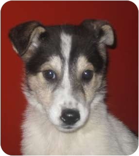 Collie/Husky Mix Puppy for adoption in Chicago, Illinois - RosieADOPTED