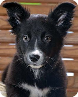 Border Collie Mix Puppy for adoption in Spring Valley, New York - Jewel