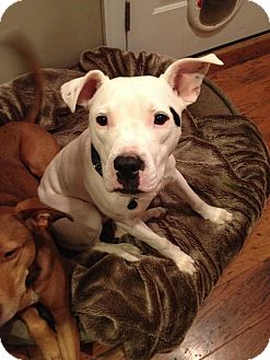 Pit Bull Terrier Mix Dog for adoption in Richmond, Virginia - Max