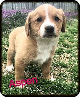 Corgi Mix Puppy for adoption in Brattleboro, Vermont - Aspen