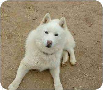 Siberian Husky Dog for adoption in Southern California, California - Hutch