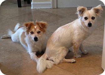 Sheltie, Shetland Sheepdog Mix Dog for adoption in La Habra, California - Parker