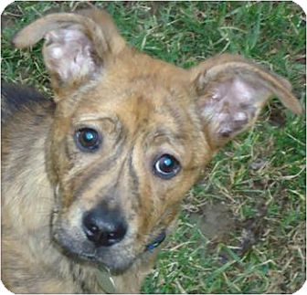 German Shepherd Dog/Boxer Mix Puppy for adoption in Beachwood, Ohio - Clyde