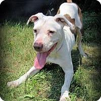 Adopt A Pet :: Callie - Park Ridge, NJ
