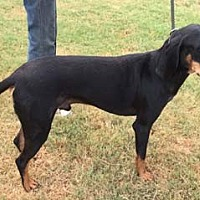 Black and Tan Coonhound Dog for adoption in Seguin, Texas - Fletcher