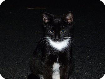 Domestic Shorthair Kitten for adoption in Stafford, Virginia - Domino