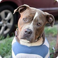 American Staffordshire Terrier Mix Dog for adoption in Manhattan, New York - Blue Ivy