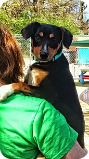 Shepherd (Unknown Type) Mix Dog for adoption in Gainesville, Georgia - chase