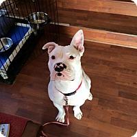 Adopt A Pet :: Opal - Westminster, MD