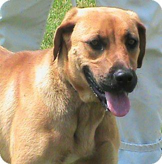 Labrador Retriever Mix Dog for adoption in Maynardville, Tennessee - Cuddles