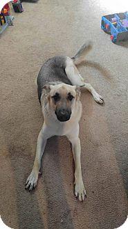 German Shepherd Dog Mix Dog for adoption in Mead, Washington - Opie