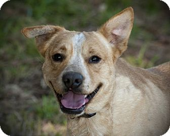 Labrador Retriever Mix Dog for adoption in Austin, Texas - Gator