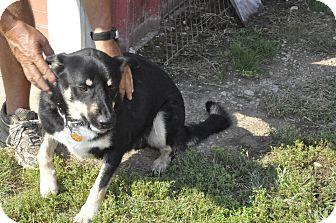 Shepherd (Unknown Type) Mix Dog for adoption in Sedan, Kansas - Mozart