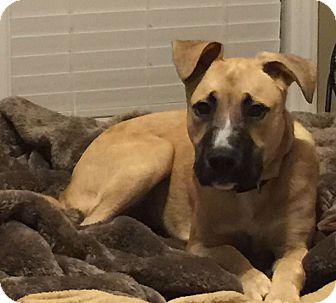 Shepherd (Unknown Type) Mix Puppy for adoption in Charlotte, North Carolina - Hazel
