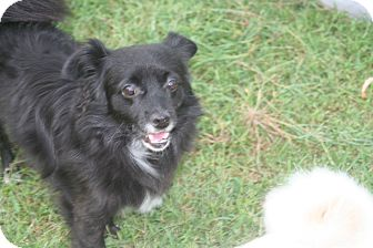 Pekingese Mix Dog for adoption in Clear Brook, Virginia - Mr. Wiggles