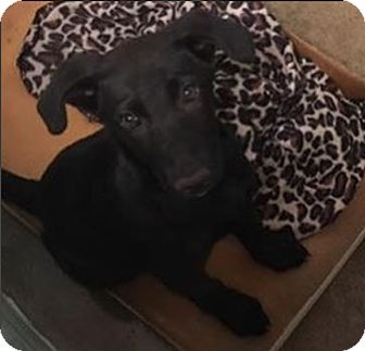 Labrador Retriever Mix Puppy for adoption in Pompton Lakes, New Jersey - Noel