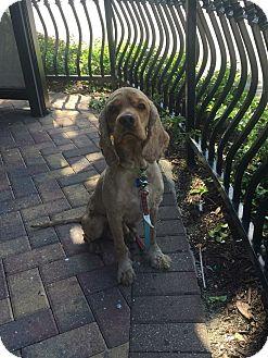 Cocker Spaniel Dog for adoption in Cape Coral, Florida - Gio