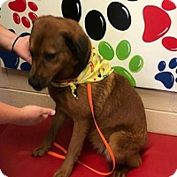 Golden Retriever/German Shepherd Dog Mix Dog for adoption in Pomfret, Connecticut - Jazzy