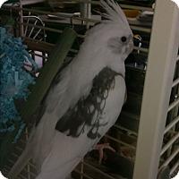 Adopt A Pet :: Matea - Villa Park, IL